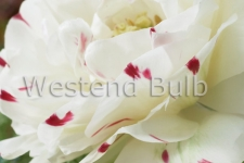 Tulipa Dance Line