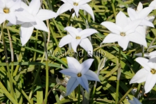 ipheion-white-star-2