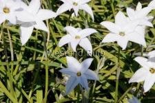 ipheion-white-star-2