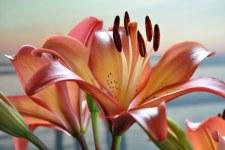 Lilium-LA-Royal-Sunset-DSC_0029