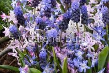 muscari-latifolium-1