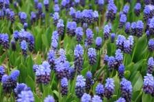 muscari-latifolium-3