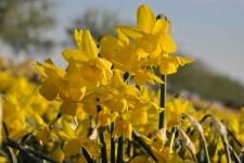 Narcis-Golden-Bouquet-DSC_0263