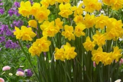 Narcis Golden Delicious