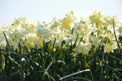 Narcis Silver Bouquet