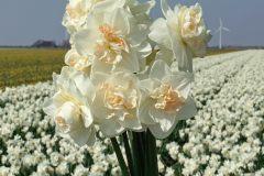 Narcis Tender Beauty