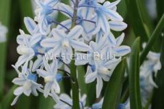 Puschkinia blauw