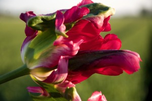 Tulp Red Wave