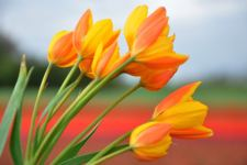 Tulp-Sunshine-Family-DSC_0151