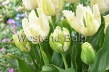 Tulipa White Parrot